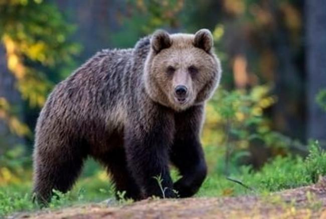 orso-m49-catturato-primo-piano
