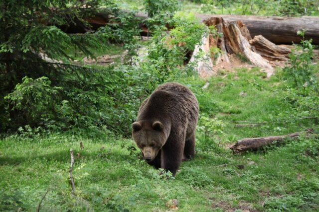 orso-m49-catturato-trentino