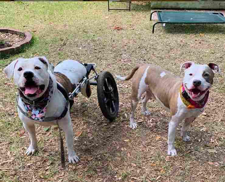 pitbull-disabile-carrozzina
