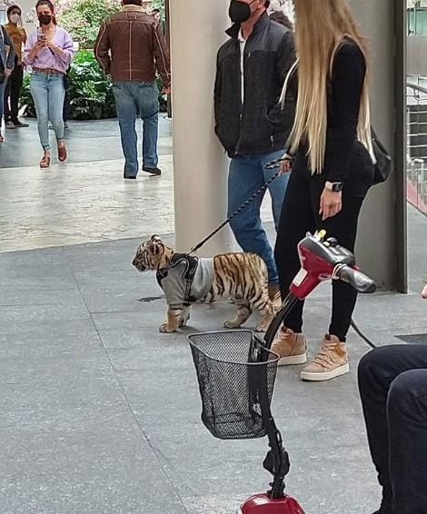 tigre-bengala-cucciolo-con-guinzaglio-con-ragazza