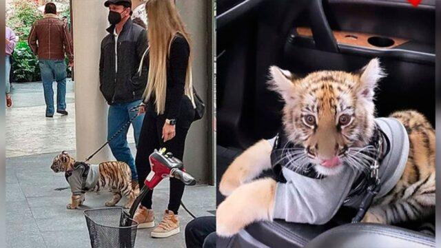 tigre-del-bengala-centro-commerciale