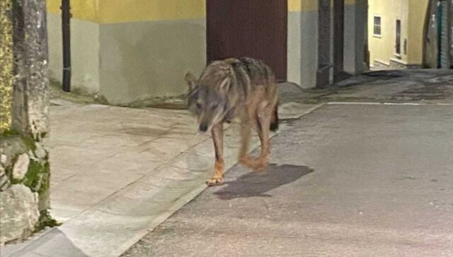 caserta-lupo-avvistato