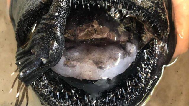rana-pescatrice-pacific-football-fish-mostruoso