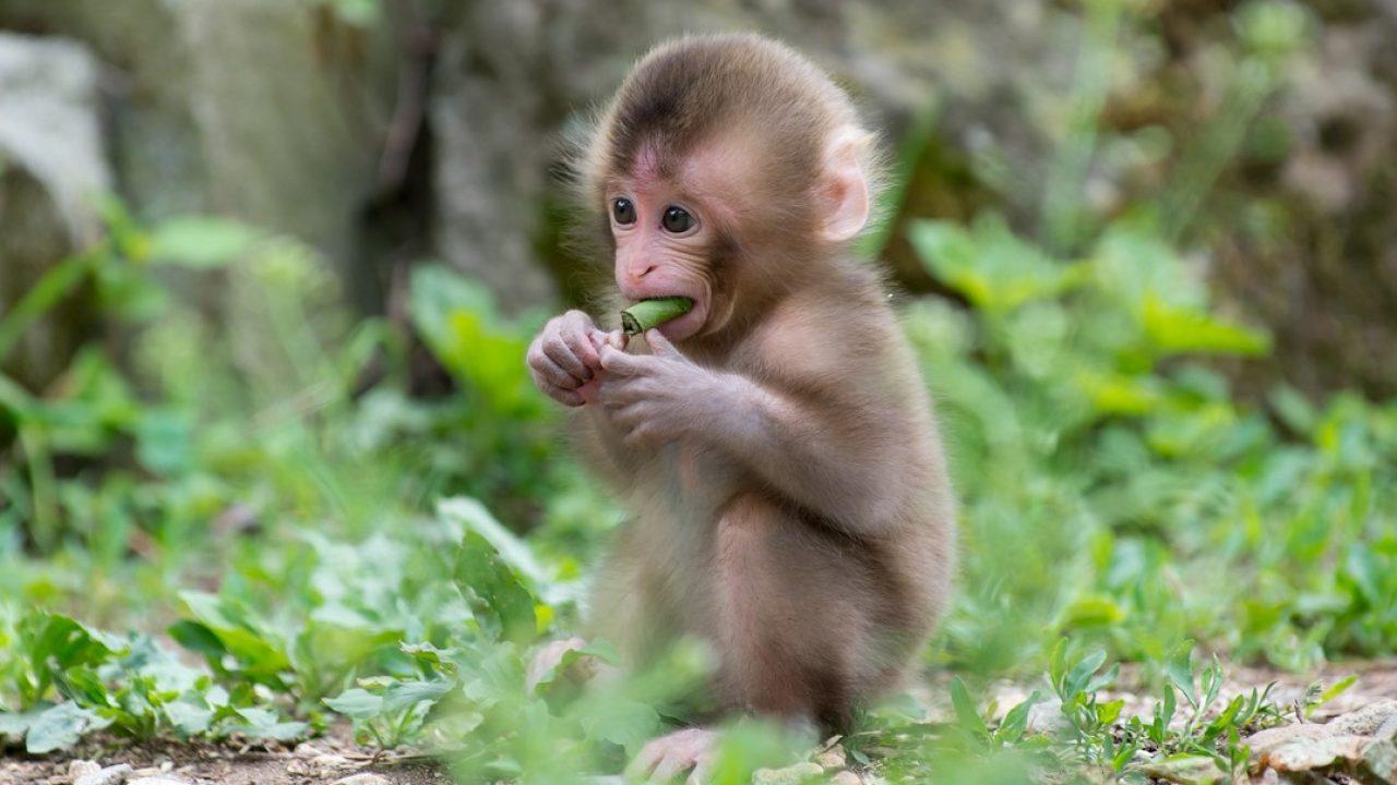 piccola-scimmia-scimmie