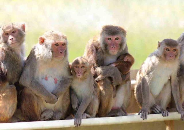 scimmie-india